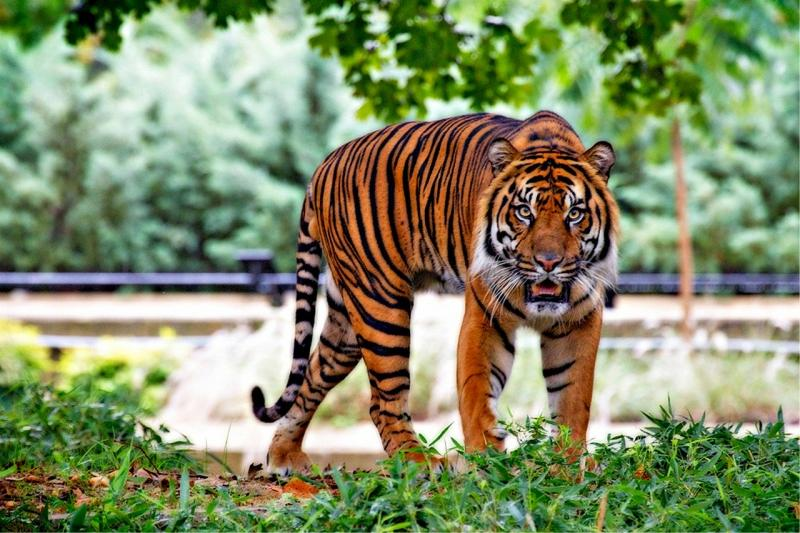 Sumatra Tiger, Indonesien